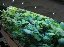 Aeroponic GS-V with Light Array